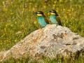 Bienenfresser, European Bee-eater, Bee-Eater, European Bee Eater, Merops apiaster, Guêpier d'Europe, Abejaruco Común