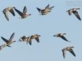 Blässgans, Bleßgans, Bläßgans, White-fronted Goose, Greater White-fronted Goose, Anser albifrons, Oie rieuse, Ánsar Careto