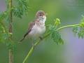 Olivaceous Warbler, Hippolais pallida, Acrocephalus pallidus, Hypolaïs pâle, Zarcero Pálido