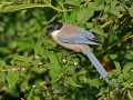 Blauelster, Azure-winged Magpie, Blue-winged Magpie, Cyanopica cyana, Pie bleue, Rabilargo