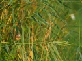 Blaukehlchen, Bluethroat, Luscinia svecica, Luscinia svecicus, Gorgebleue à miroir, Gorgebleue, Pechiazul