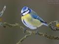 Blaumeise, Blue Tit, Parus caeruleus, Mésange bleue, Herrerillo Común