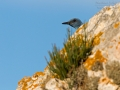 Blaumerle, Blue Rock Thrush, Blue Rock-Thrush, Monticola solitarius, Monticole bleu, Merle bleu, Roquero Solitario