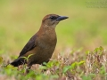 Bootschwanzgrackel, Boat-tailed Grackle, Quiscalus major