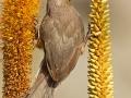 Braunflügel-Mausvogel, Speckled Mousebird,  Colius striatus