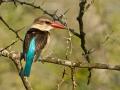 Braunkopfliest, Brown-hooded Kingfisher, Halcyon albiventris