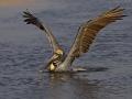Braunpelikan, Brown Pelican, Pelecanus occidentalis