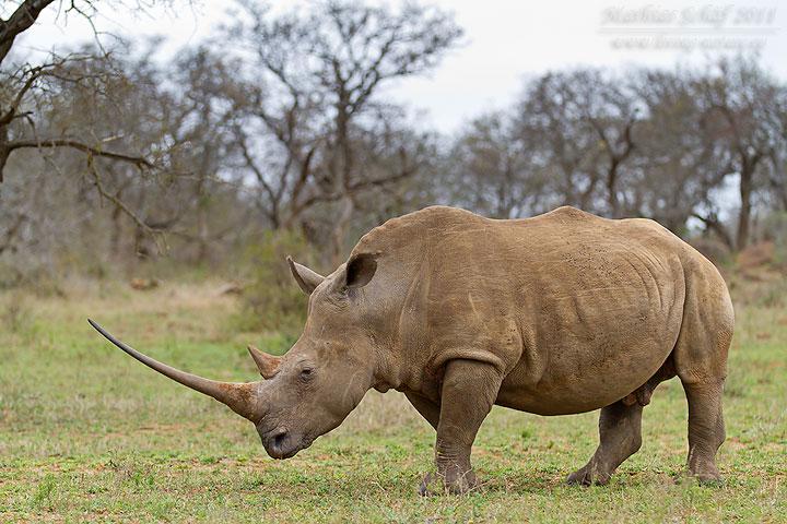 Breitmaulnashorn / White Rhinoceros / Ceratotherium simum ...