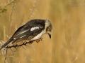 Brillenwürger, White-crested Helmet-shrike, Prionops plumata