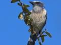 Buschhäher, Scrub Jay, Florida Scrub-Jay, Aphelocoma coerulescens