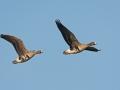Blässgans / White-fronted Goose / Anser albifrons