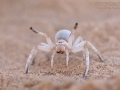 Carparachne aureoflava / Dancing White Lady Spider