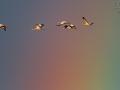Kranich / Common Crane / Grus grus