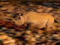 Spitzmaulnashorn / Black Rhino / Diceros bicornis
