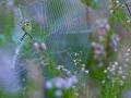 Wespenspinne / Wasp Spider / Argiope bruennichi