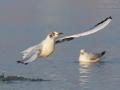 Lachmöwe / Black-headed Gull / Larus ridibundus