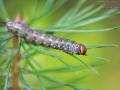 Raupe des Kiefernschwärmers / Caterpillar of Pine Hawk-moth / Sphinx pinastri