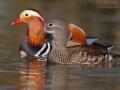 Mandarinente / Mandarin Duck / Aix galericulata