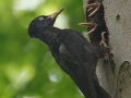 Schwarzspecht / Black Woodpecker / Dryocopus martius