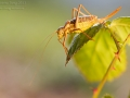 Steppen-Sattelschrecke / Saddle-backed Bush Cricket / Ephippiger ephippiger