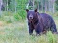 Europäischer Braunbär / Eurasian Brown Bear / Ursus arctos arctos