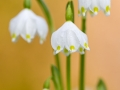 Märzenbecher / Spring Snowflake / Leucojum vernum