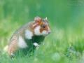 Feldhamster / European Hamster / Cricetus cricetus