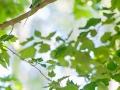 Halsbandsittich / Rose-ringed Parakeet / Psittacula krameri