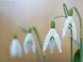 Kleines Schneeglöckchen / Common Snowdrop / Galanthus nivalis