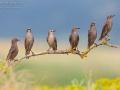 Star / European Starling / Sturnus vulgaris