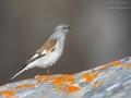 Schneefink, Schneesperling / White-winged Snowfinch / Montifringilla nivalis