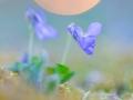 Sand-Veilchen / Viola rupestris