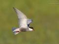 Weißbart-Seeschwalbe / Whiskered Tern / Chlidonias hybrida