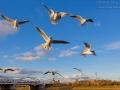 Lachmoewe / Black-headed Gull / Larus ridibundus