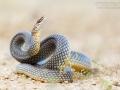 Balkan-Springnatter / Dolichophis caspius / Caspian whipsnake
