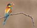 Bienenfresser / European Bee-eater / Merops apiaster