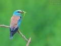 Blauracke / European Roller / Coracias garrulus