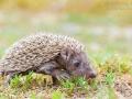 Braunbrustigel / European hedgehog / Erinaceus europaeus
