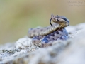 Europäische Hornotter / Horned Viper / Vipera ammodytes