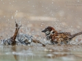 Haussperling / House Sparrow / Passer domesticus