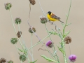 Kappenammer / Black-headed Bunting / Emberiza melanocephala