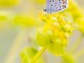 Östlicher Quendelbläuling / Eastern Baton Blue / Pseudophilotes vicrama