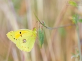 Postillon / Dark Clouded Yellow / Colias croceus