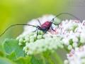 Bockkäfer / Longhorn Beetle