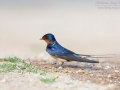 Rauchschwalbe / Barn Swallow / Hirundo rustica