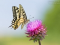 Schwalbenschwanz / Old World Swallowtail / Papilio machaon
