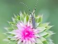 Sonnenblumen-Bock / Agapanthia dahli