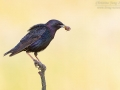 Star / European Starling / Sturnus vulgaris