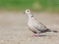 Türkentaube / Eurasian Collared Dove / Streptopelia decaocto