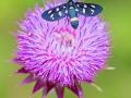 Weißfleck-Widderchen / Nine-spotted moth / Amata phegea